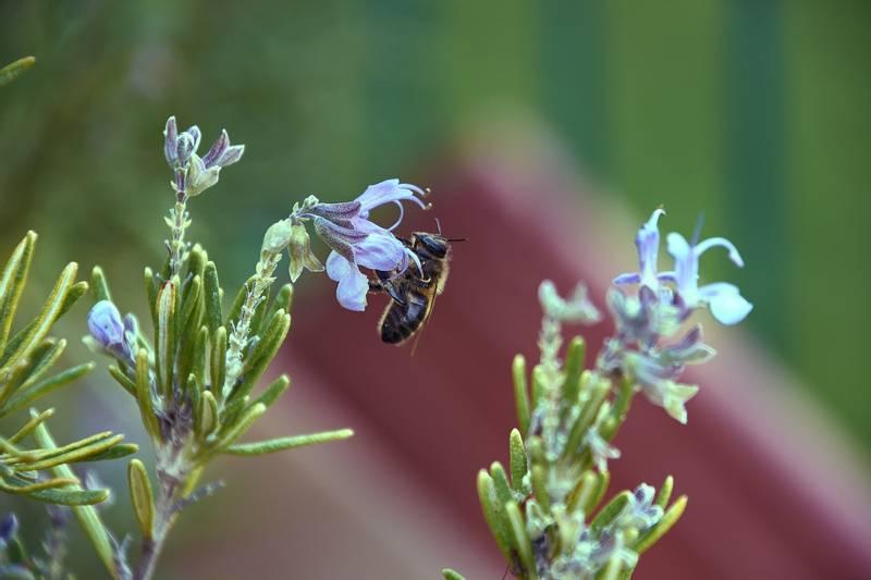 Bilde av Lavendel Rosmarin